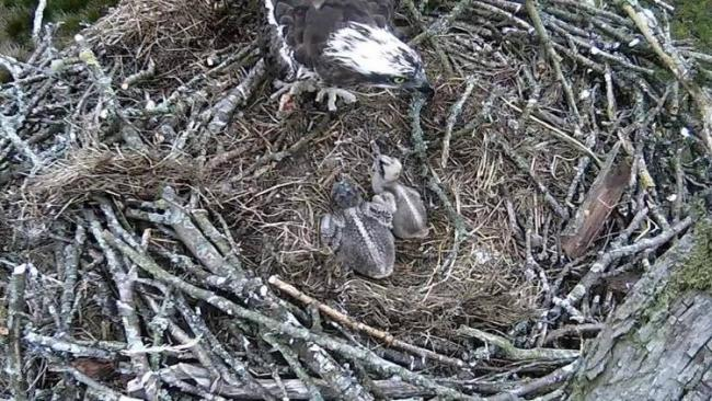 Lake District Osprey Project postponed indefinitely