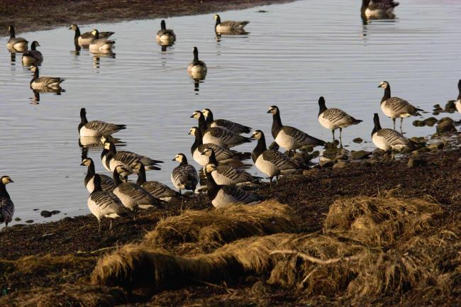 Barnacle geese fly to the Solway from the Arctic Circle. Picture: Derek Moore