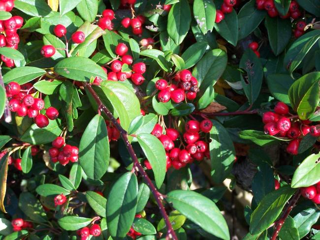 The cotoneaster berries turn shades of vivid red if the birds leave them alone