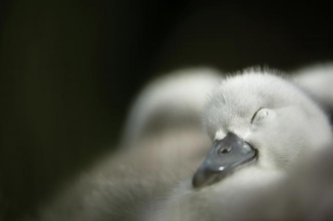 Mute swan Cygnus olor, cygnet sitting on nest, Bedfordshire, May. Photo: Ben Andrew