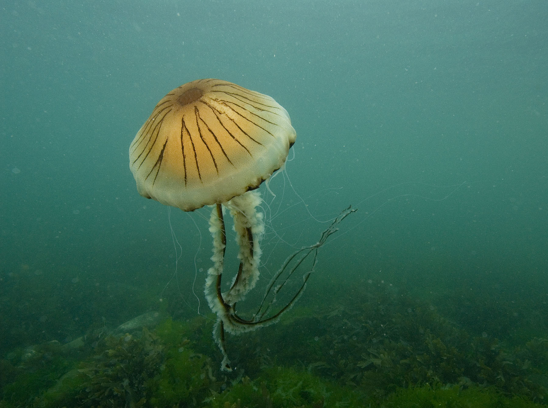 A compass jellyfish. Picture: Paul Naylor