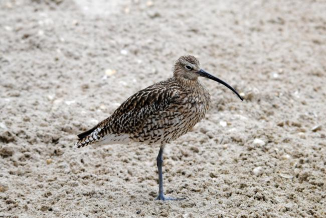 CURLEW: The population is falling – but this month you can help them           Amy Lewis