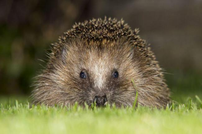 SAVE: A hedgehog in a garden