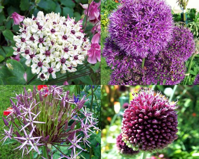 HAVING A BALL: Toni Magean's alliums (or ornamental onions) start to show colour
