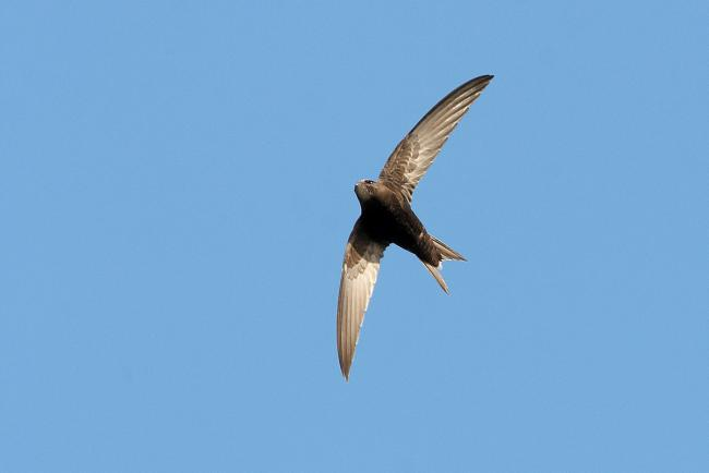 Swift: picture by Stefan Johansson